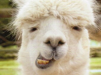 Another goofy alpaca